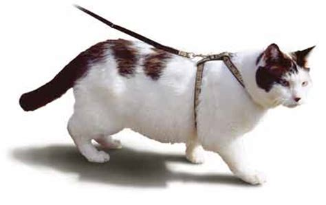 Cat Harness Anjing Kucing Can You Really Walk A Cat On A Leash All Pet News