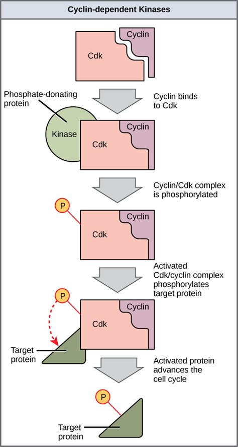 2 proteins that regulate the cell cycle of the cell cycle biology i