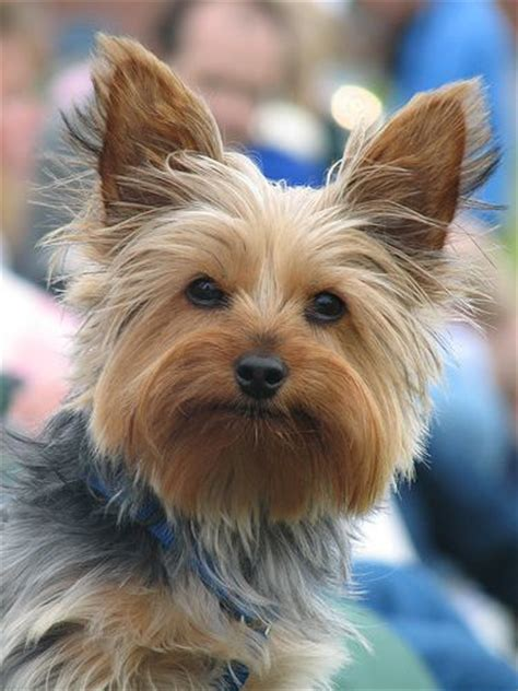 do yorkies hair or fur 50 damn yorkie haircuts for your puppy hairstylec