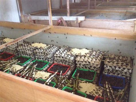 Jual Pakan Ternak Burung Kediri Jawa Timur jual telur jangkrik beternak jangkrik jual telur jangkrik