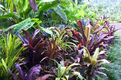 el arish tropical exotics lush tropical plants for australia best landscaping cordylines part