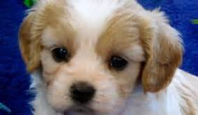 century farms puppies cavachon puppies for sale designer dogs from breeder century farm puppies