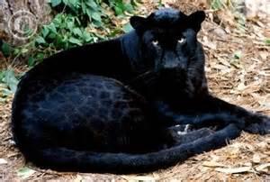 Jaguar Nocturnal Panther Black Leopard Animals Wiki Pictures