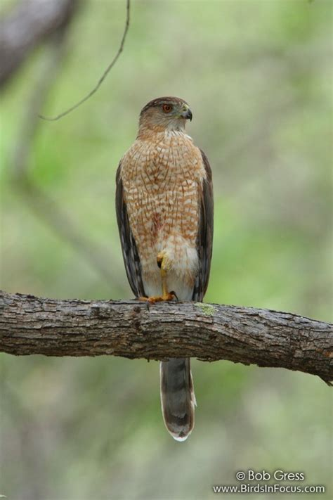 birds in focus cooper s hawk
