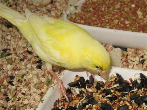 canary tales learning to eat seed