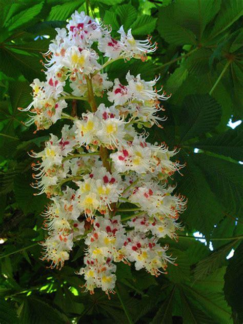 chestnut bud fiori di bach naturopatia le guide di supereva