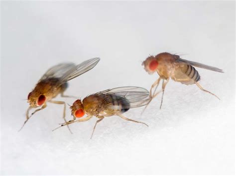 flies fruit flies house fly pest control and extermination service