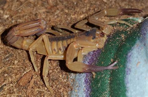 Up Side Scorpion Moge Brown tityus stigmurus 3rd 4th instar scorpion