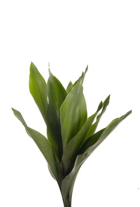 aspidistra leaves greens types  flowers flower muse