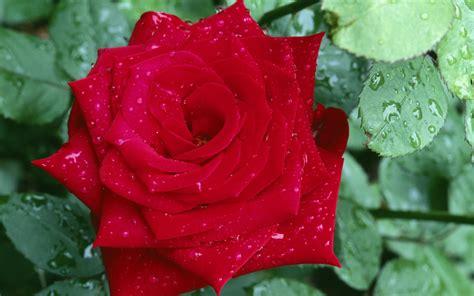 flores rojas fondo rosa roja flores rojas en hd pictures