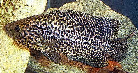 Jaguar Menaguense Cichlid jaguar cichlid tropical fish keeping