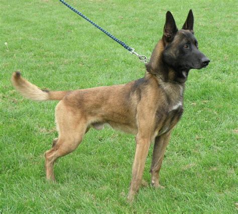 k9 dogs for sale dogs for sale official k9 handlers courses dogs for sale