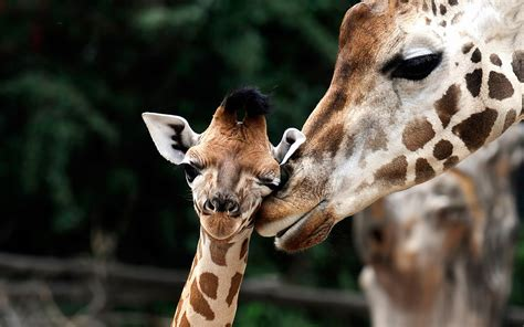 cute wallpaper  giraffes hd animals wallpapers