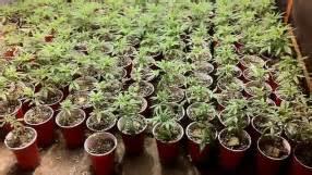 reportage sur le cannabis