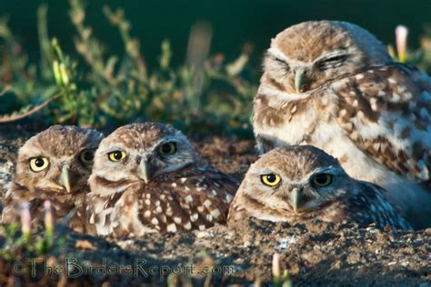 burrowing owl family focusing on wildlife