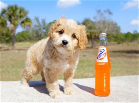 puppies for sale fort myers fl teacup cavapoo puppies for sale in florida cavapoo home breeders fl