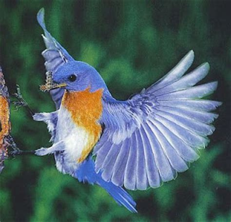 bluebird bird facts about bluebirds and their pictures