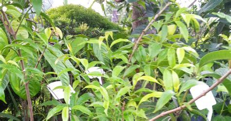 Benih Serai Gajah bumi hijau nursery 002279488 d benih serai pedas