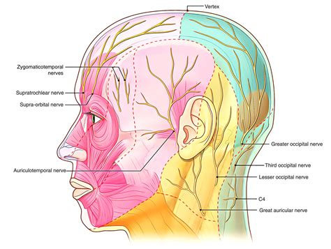 Attractive Third Occipital Nerve Anatomy Mold - Anatomy And ...