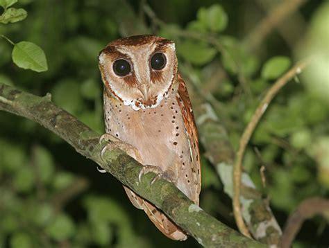 Bantal Owl Burung Hantu Hijau ciri ciri jenis dan harga burung hantu ragam informasi