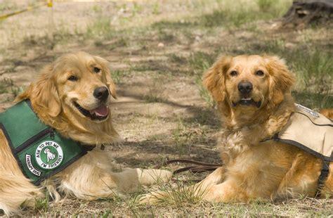 golden retriever seizures abigail seizure response dogs golden retrievers
