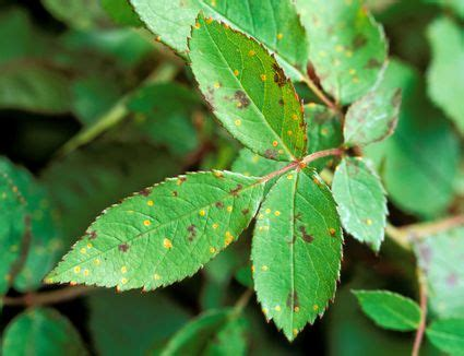 prevent and control rust fungus in the flower garden