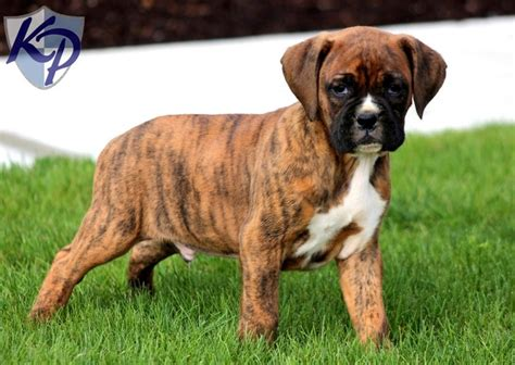 boxer puppies in pa pin by keystone puppies on boxer puppies