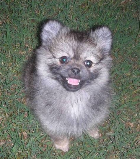 pomeranian rescue bc best 25 pomeranian rescue ideas on pomeranian puppies for free