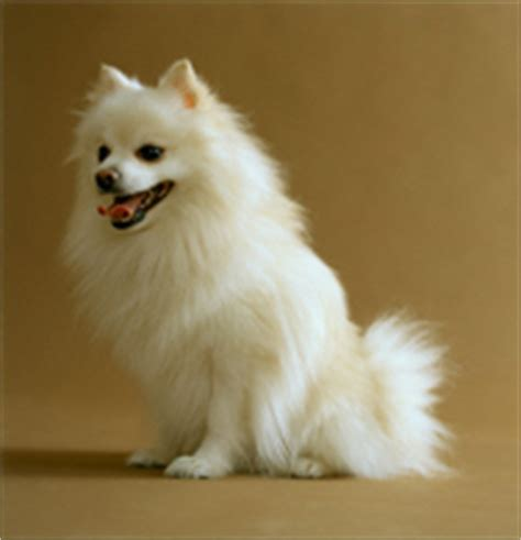 expectancy of a pomeranian teacup pomeranian span breeds picture