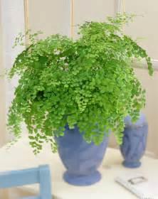 maidenhair fern live plant indoor house large established adianthum fragrans ebay
