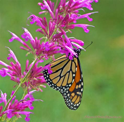 7 Butterfly Flowers For Monarchs And Hummingbirds Butterfly Flower Garden