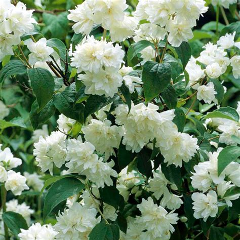 Flowering Garden Plants Philadelphus Plant Virginal Trees And Shrubs Flowers Garden Dobies