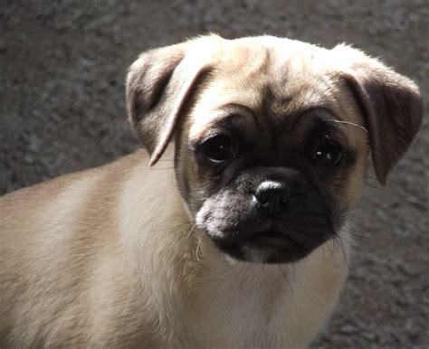 pug cavalier mix pug and cavalier pugalier pug mixed breeds pug mixed breeds pug mix