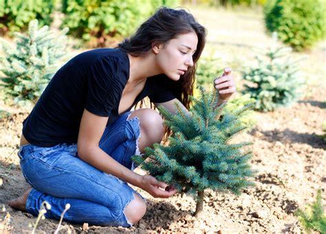 Tannen Selber Ziehen tannenbaum z 252 chten 187 so ziehen sie ihren eigenen