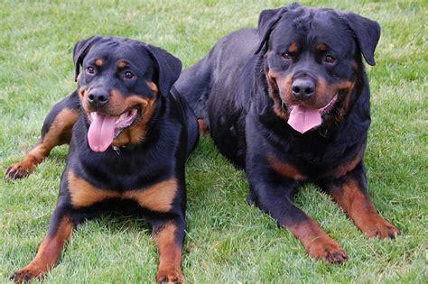 seizures in rottweilers dsc 0143 187 2infinity rottweilers