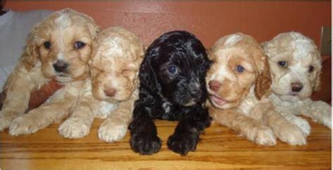 cockapoo puppies for sale in california cockapoo puppies california cockapoo for