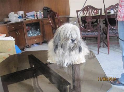 lhasa apso puppies price lhasa apso puppies for sale deepak 1 12516 dogs for sale price of puppies