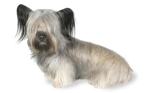 Skye Terrier Dog Breed Information, Pictures