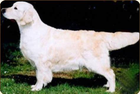 stanroph golden retrievers chien golden retriever stanroph stop and glance
