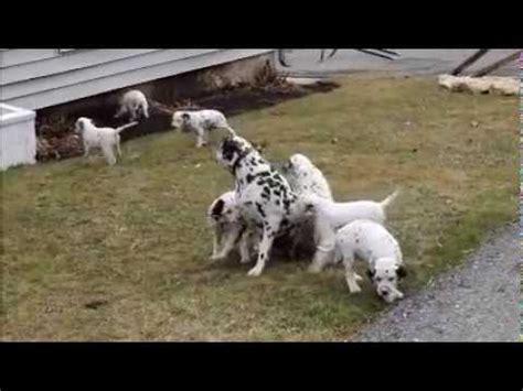 dalmatian puppies for sale nj dalmatian puppy funnydog tv