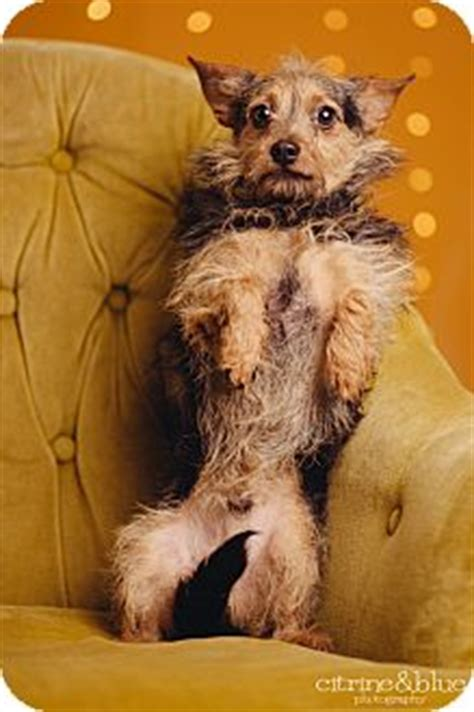 yorkie portland oregon mr scruffy adopted portland or yorkie terrier cairn terrier mix