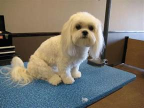 haircut ideas for hair dogs haircuts for long haired dogs