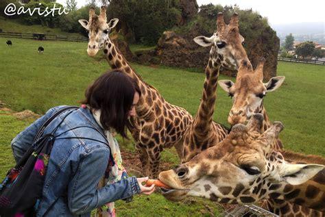 cadena alimenticia jirafa visita salvaje a cab 225 rceno o c 243 mo acabar dando de comer a