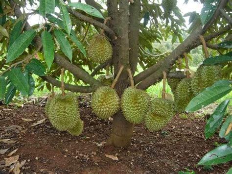 Bibit Buah Duren sekilas tentang pohon durian