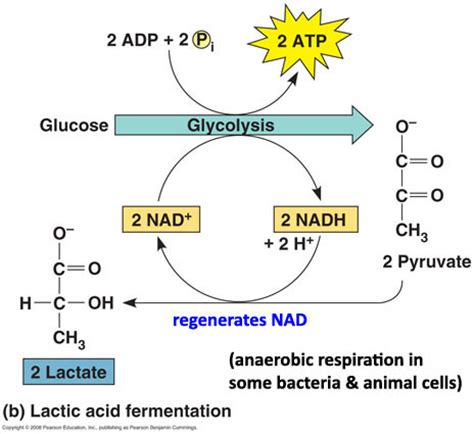 pattern formation in plants masteringbiology lactic acid fermentation การหม กให เก ดกรดแล กท ก food