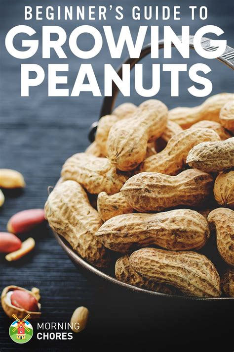 how to grow peanuts an easy guide for gardening beginners growing peanuts the complete guide to plant grow and