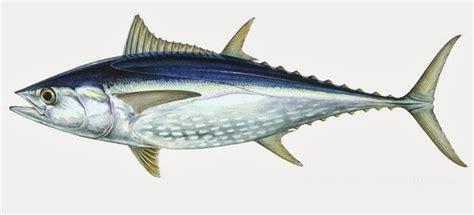 sih perbedaan ikan tuna  ikan tongkol solo fine