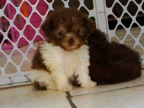 mini goldendoodle tucson poodle puppies dogs for sale in birmingham