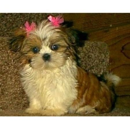 puppies for sale columbia mo shih tzus for sale in all usastates
