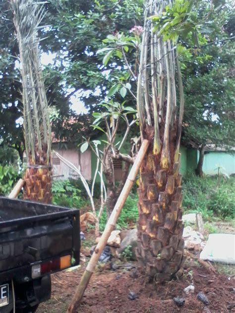 Jual Bibit Buah Cibubur citra taman tukang pohon kurma tukang pohon kurma berbuah jual pohon murah
